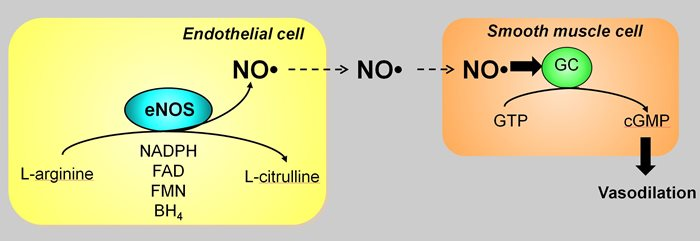 how-nitric-oxide-works