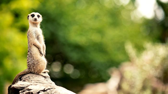 Meerkats and Moles